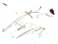 Panicles in Snow 4