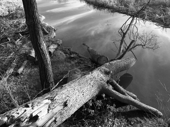Fallen tree in Rattray Marsh, Mississauga